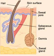 heat rashes by sweat glands