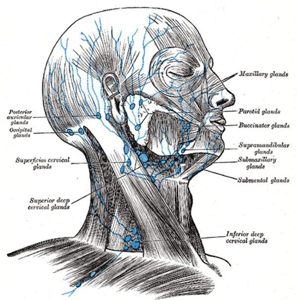 Occipital Lymph Node