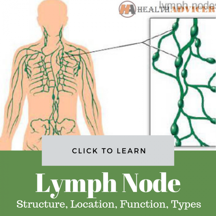 Lymph Node Structure, Location, Function, Types