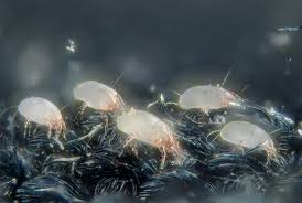 Causes Of Dust Mite Allergy