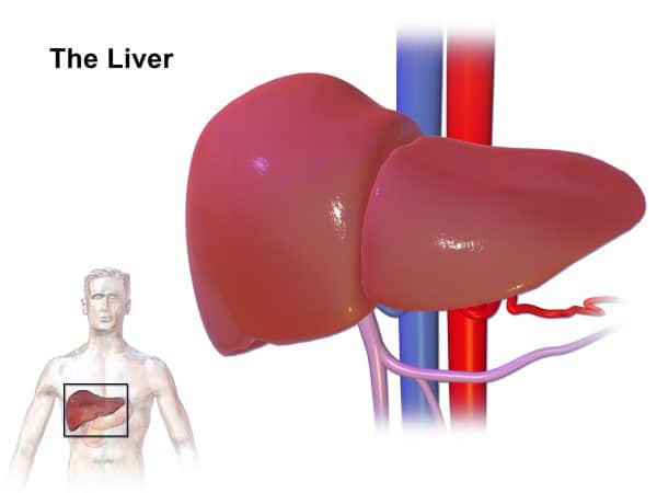 Function Of Liver