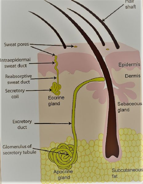 Basic structure of sweat glands The eccrine sweat gland is e1568790954959