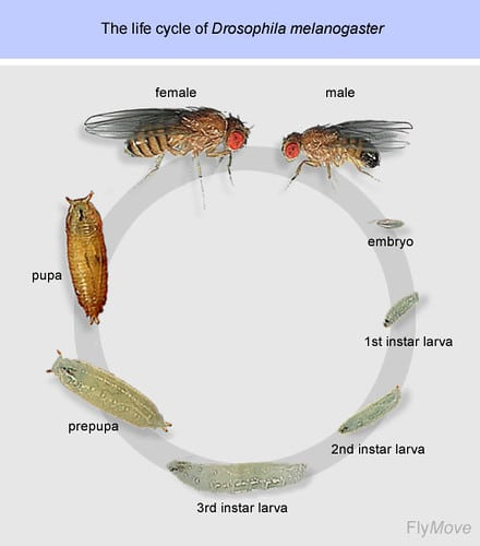 Fruit Fly Lifecycle