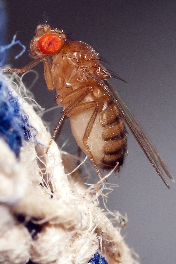 Difference Between Fruit Fly And A Gnat