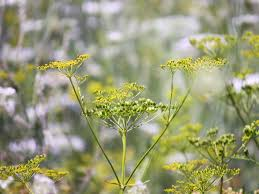 History Of Wild Parsnip