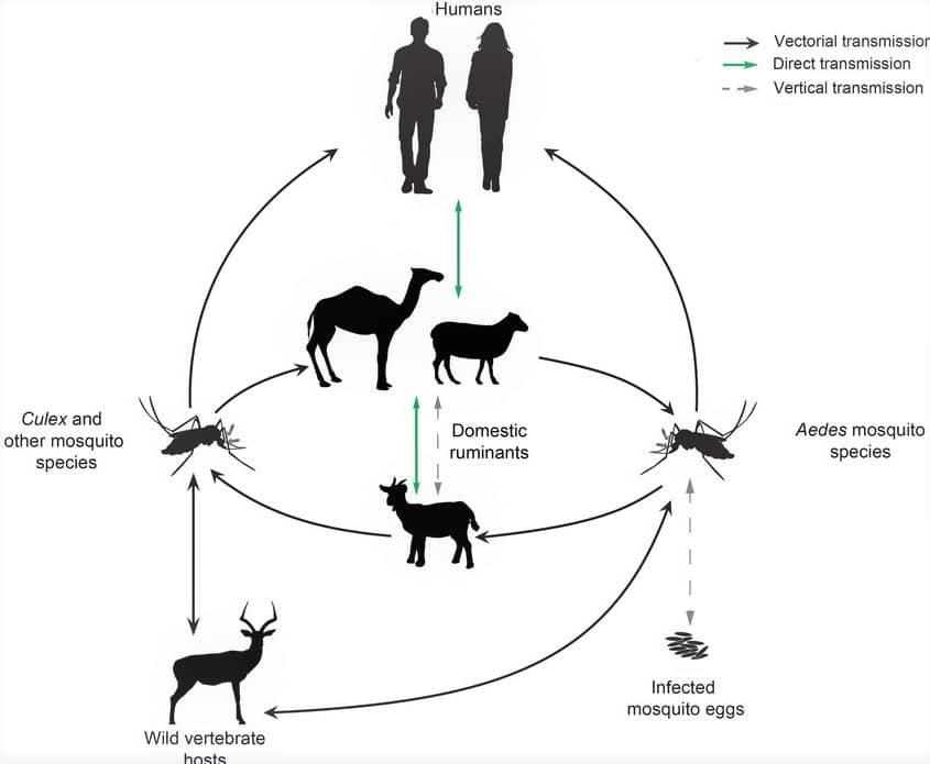 Rift Valley Fever Virus In Humans